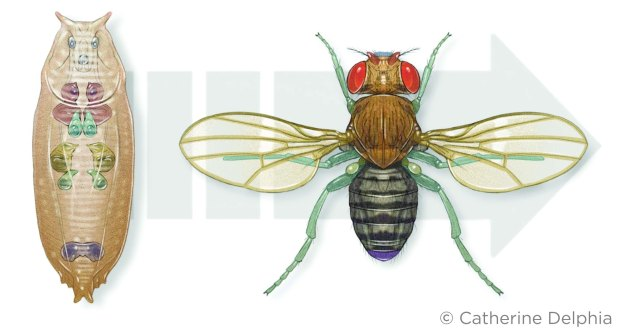 CD_Fruitfly03