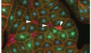 Brf mutant fat body cells (arrowheads) show decreased size compared to surrounding wild-type cells (GFP-labelled) - see Marshall et al, 2012