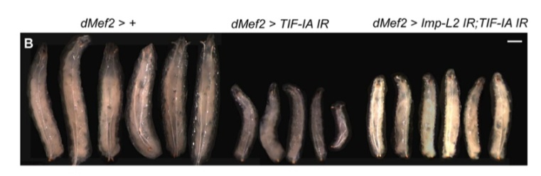 Muscle-specific knockdown of TIF-IA leads to reduced body size (centre larvae). This is partially rescued by inhibition of Imp-L2, an insulin inhibitor - see Ghosh et al, 2014